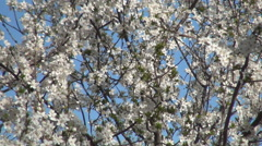 Tree with white flowers, blooming season, leaves buds. Spring blossom season. - stock footage