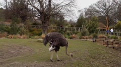 Emu Eating Stock Footage