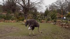Emu Eating Stock Footage
