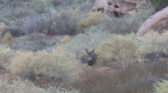 Limping Doe and her fawn in sagebrush habitat. Stock Footage