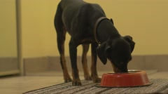 4K Pinscher Food Eating in Appartment - stock footage