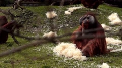 Red Monkeys Stock Footage