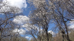 Landscape with trees in spring blossom, green grass, blue sky and white clouds. Stock Footage