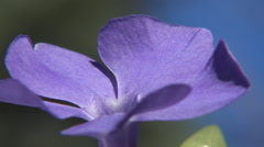 Purple flower in wind blow with blue sky in blur background. Stock Footage