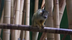 Yellow Monkey Stock Footage