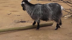 Wild Black & Grey Goat in a Zoo Stock Footage