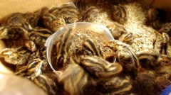 Little quails in the box Stock Footage