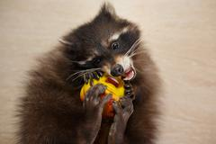 Raccoon with toy Stock Photos