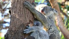 Cute Mother and Koala Bear Cub Sleeping On Tree (2 shot) - stock footage