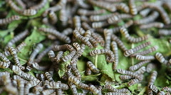 Silkworms with mulberry leaves Stock Footage