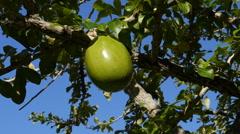 Huge big fruit - Higuera fruit tree 1 Stock Footage