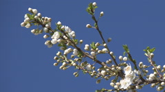 Blooming Trees Orchard Spring Fruits Flowers Blossoms Cherry Plum Apple Peach Stock Footage