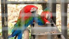 Red and Blue Macaw Birds In Cage Stock Footage