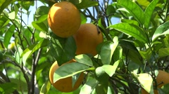4K Orange Fruits in Orchard, Fresh Juicy Tropical Citrus Fruits Branches Tree Stock Footage