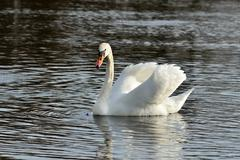 Beautiful white mute Swan (Cygnus olor) Stock Photos
