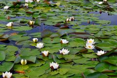 Field water lilies (Nymphaea alba) - stock photo
