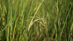 Close up of Rice spike in the paddy field Stock Footage