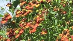 Beautiful Burnt Orange Summer flower Daisies in Wildflower Garden Stock Footage