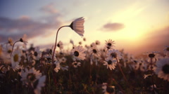 Daisies blowing in the wind sunset sky and sun background - stock footage