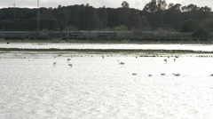 Flamingo and waders in pond or marsh. Stock Footage