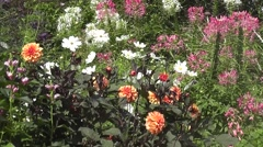Summer purple, white, and blue flowers in English Wildflower Cottage Garden Stock Footage