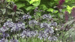 Summer purple and blue flowers in English Wildflower Cottage Garden Stock Footage