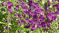 Beautiful Purple Penstemon Flowers Blooming in Summer Stock Footage