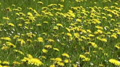 Spring Dandelion flowers in Wildflower English meadow in Springtime Stock Footage