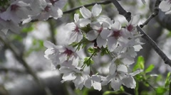 Spring White Blossom Flowers of Wild Cherry Tree in Morning Sunshine - stock footage