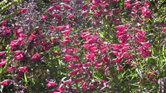 Beautiful pink Summer penstemon flowers in Wildflower Cottage Garden Stock Footage