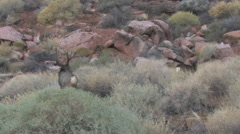 Mule Deer Buck and Doe During the Rut Stock Footage
