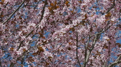 Colorful pink plum flowers in spring Stock Footage