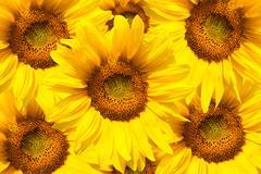 blooming sunflower - stock photo