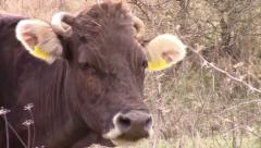 Cow licking it's snout - stock footage