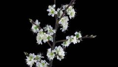 Time-lapse of blooming plum tree branch with RGB + ALPHA matte Stock Footage