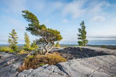 Bending tree is struggling for life on a mountain top, Killarney, Canada Stock Photos