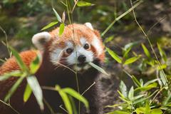 Liitle small cute red panda eating bamboo Stock Photos