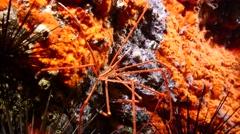 Arrow crab Fuerteventura Spain Stock Footage
