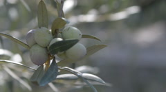 Close Up of Olives on the branch 2 Stock Footage