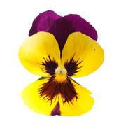 yellow pansy  isolated on white background - stock photo
