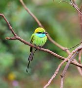 Green Bee-eater bird on branch Stock Photos