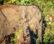 small indian baby elephant - stock photo
