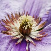 Clematis flower Stock Photos