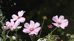 Striking pink Summer flower Daisies in Wildflower Cottage Garden Stock Footage