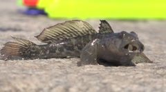 Live fish goby lies on stone Stock Footage