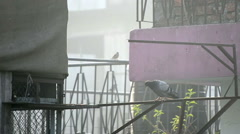 Male Dove Or Pigeon come to female dove trying to create love Arkistovideo