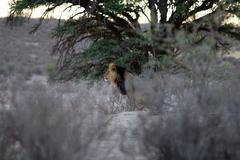 WS Black maned lion marking amongst scrub in the Kalahari Desert, South Africa Stock Photos
