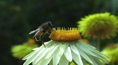 Bee Pollinating Summer Daisy Flower in Wildflower Meadow Stock Footage