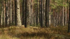 Pine trees forest in sunlight video footage made with slider - stock footage