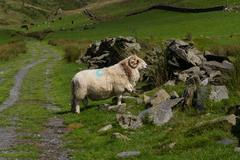 Sheep with horns, grazing by ruined dry stone wall. Stock Photos